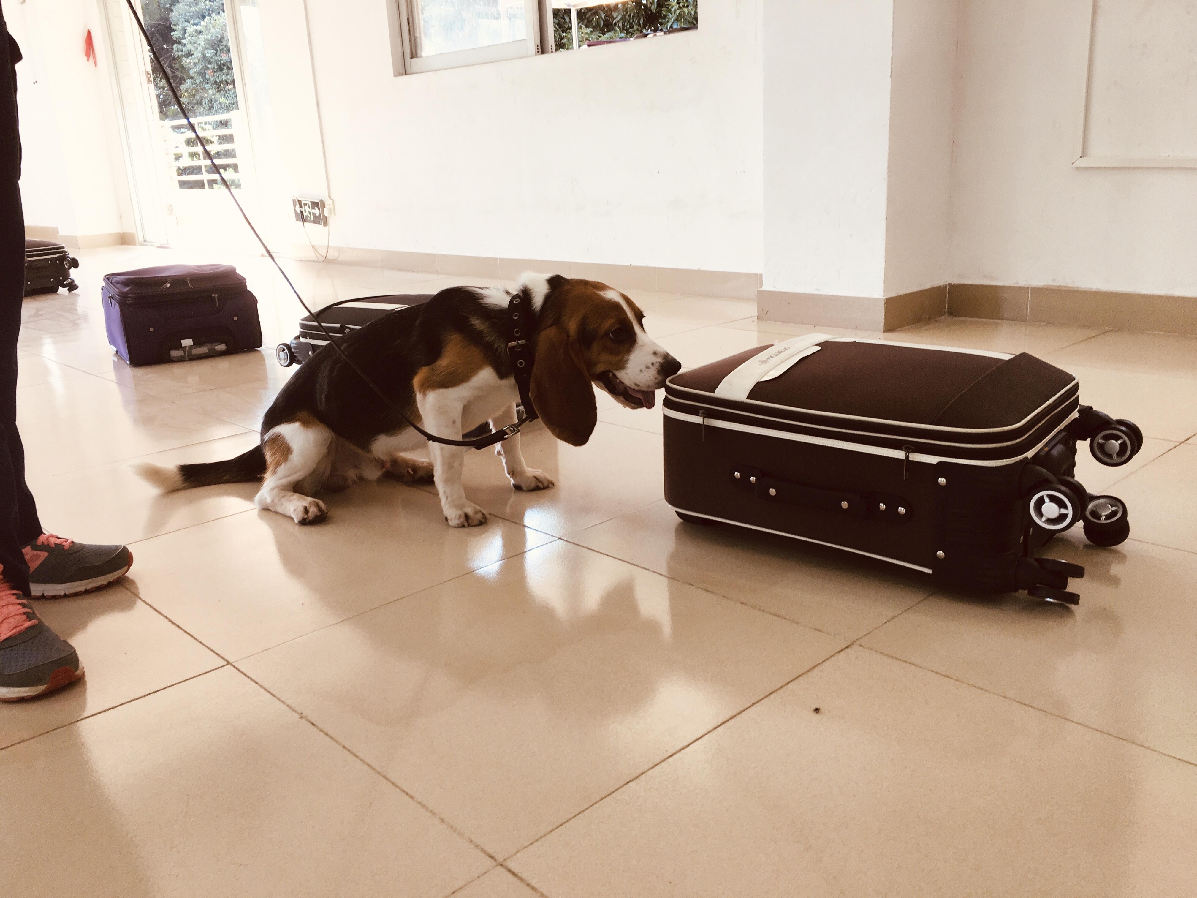 广州海关莅临国家犬类实验动物资源库进行监管工作犬的复训考核与调研